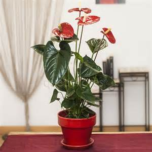 Maceta de anthurium.jpg 2