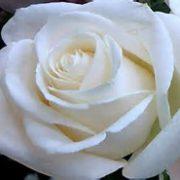 rosa blanca 1