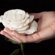 rosa blanca en mano