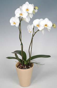 orquidea_maceta_h