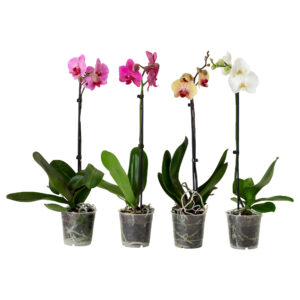 phalaenopsis-potted-plant-orchid-1-stem-assorted-colours__0187960_pe340924_s5
